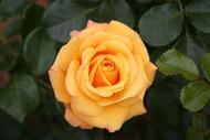 http://d3d71ba2asa5oz.cloudfront.net/12001418/images/miniature-rose.jpg?refresh