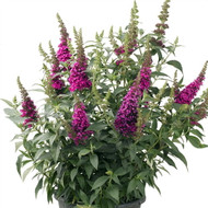 http://d3d71ba2asa5oz.cloudfront.net/12001418/images/buddleja-davidii-buzz-hot-raspberry-cultivaris-867x576.jpg?refresh