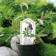 http://d3d71ba2asa5oz.cloudfront.net/12001418/images/annual_fairy-alis-sensitive-plant.jpg?refresh