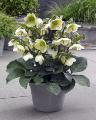 https://d3d71ba2asa5oz.cloudfront.net/12001418/images/hellebore_molly_s_white_.jpg?refresh
