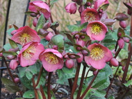 https://d3d71ba2asa5oz.cloudfront.net/12001418/images/helleborus_x_penny_s_pink_resized.jpg?refresh