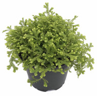 https://d3d71ba2asa5oz.cloudfront.net/12001418/images/golden%20fern%20club%20moss%20plant.jpg?refresh