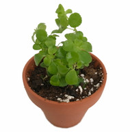 https://d3d71ba2asa5oz.cloudfront.net/12001418/images/pilea3claypothr1.jpg?refresh