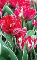http://d3d71ba2asa5oz.cloudfront.net/12001418/images/tulipeternalflame.jpg?refresh
