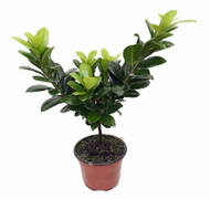 https://d3d71ba2asa5oz.cloudfront.net/12001418/images/ficusgreenislandhr6.jpg?refresh