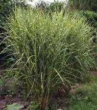 http://d3d71ba2asa5oz.cloudfront.net/12001418/images/4252-gold-bar-maiden-grass.jpg?refresh