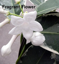 https://d3d71ba2asa5oz.cloudfront.net/12001418/images/stephanotis-grandiflora-variegata-.jpg?refresh