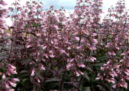 Dark Towers Penstemon Perennial   Easy To Grow   Quart Pot
