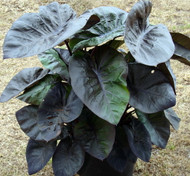 https://d3d71ba2asa5oz.cloudfront.net/12001418/images/colocasia-kona-coffee-003.jpg?refresh