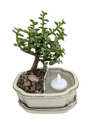 https://d3d71ba2asa5oz.cloudfront.net/12001418/images/jadereflectionsbonsai.jpg?refresh