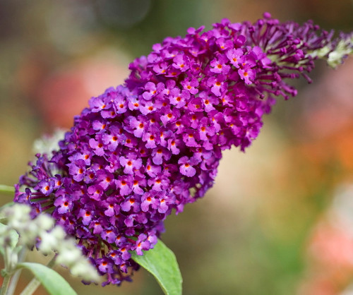 https://d3d71ba2asa5oz.cloudfront.net/12001418/images/buddleja-buzz-magenta.jpg?refresh