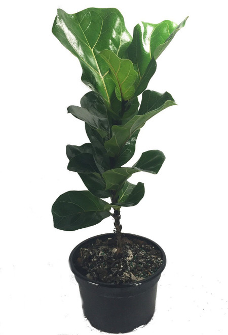 fiddleleaf fig stylized tree shape ficus great indoor tree easy 8 pot