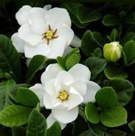 http://d3d71ba2asa5oz.cloudfront.net/12001418/images/gardeniabutton1.jpg?refresh