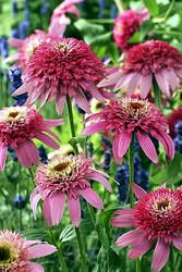 http://d3d71ba2asa5oz.cloudfront.net/12001418/images/echinacea_pink_double_delight_sm.jpg?refresh