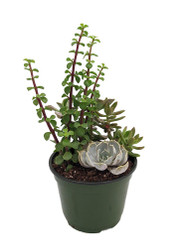 https://d3d71ba2asa5oz.cloudfront.net/12001418/images/succulentgardenclaynew.jpg?refresh