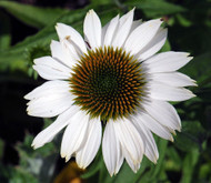 https://d3d71ba2asa5oz.cloudfront.net/12001418/images/pow%20wow%20white%20coneflower.jpg?refresh
