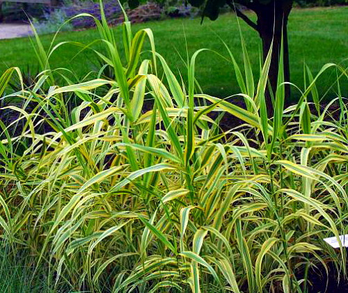 Pictures Of Ornamental Grass Golden chain giant reed ornamental grass plant arundo donax 4 golden chain giant reed ornamental grass plant arundo donax 4 pot workwithnaturefo