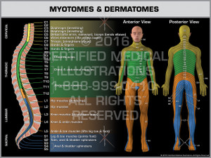 Exhibit of Myotomes & Dermatomes - Print Quality Instant Download
