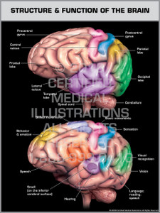 Exhibit of Structure & Function of the Brain