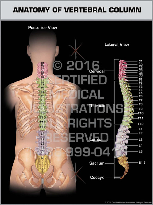 Exhibit of Anatomy of Vertebral Column - Print Quality Instant Download
