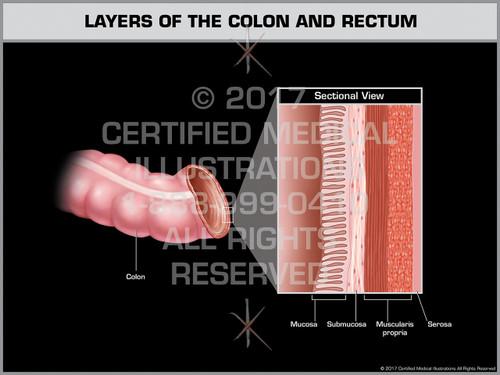 Layers of the Colon and Rectum