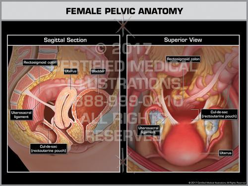 Female Pelvic Anatomy- Print Quality Instant Download