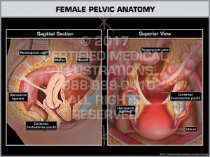Female Pelvic Anatomy- Print Quality Instant Download