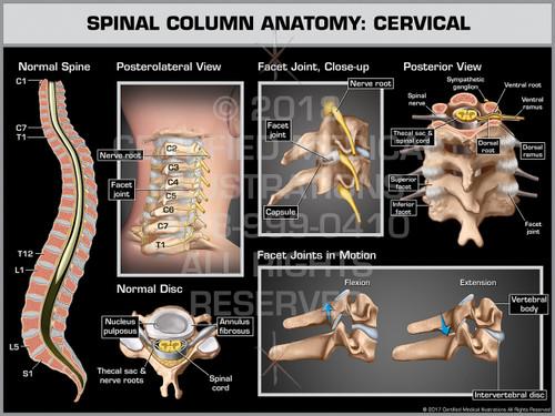 Exhibit of Spinal Column Anatomy: Cervical