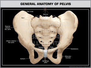 General Anatomy of Pelvis