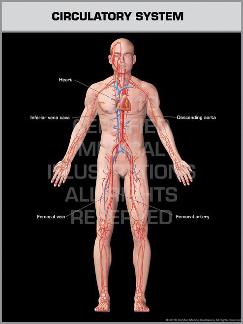 Exhibit of Circulatory System Male.
