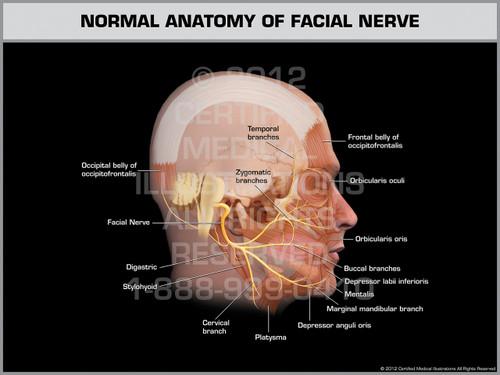 Exhibit of Normal Anatomy of Facial Nerve.