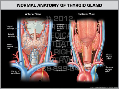 Exhibit of Normal Anatomy of Thyroid Gland.