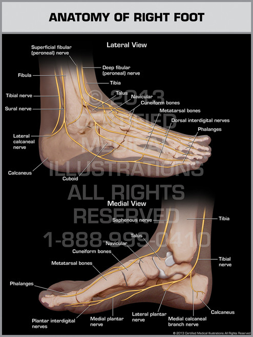 Anatomy of Right Foot