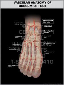 Exhibit of Vascular Anatomy of Dorsum of Foot.