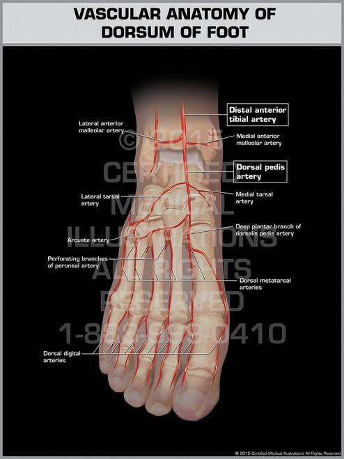 Vascular Anatomy of Dorsum of Foot