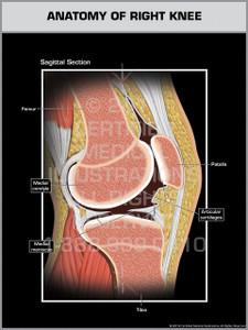 Exhibit of Anatomy of Right Knee.