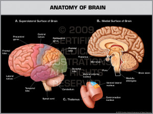 Exhibit of Anatomy of Brain.