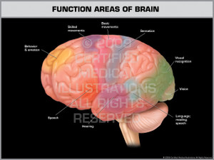 Exhibit of Function Areas of Brain.