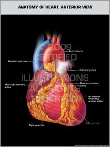 Exhibit of Anatomy of Heart, Anterior View.