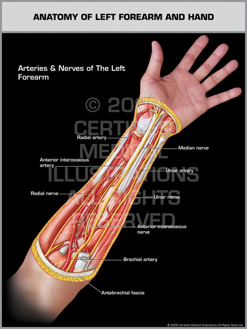Anatomy of Left Forearm & Hand