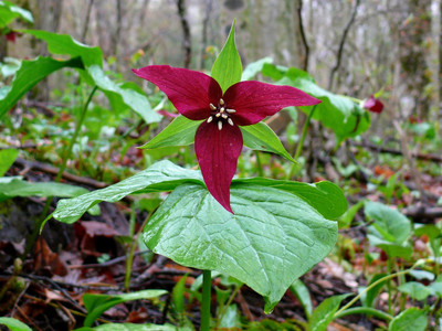 Red Trillium in bloom