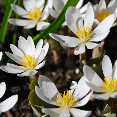 bloodroot plants in full bloom