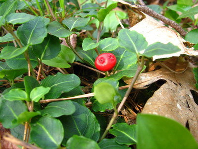 Mitchella Repens berries