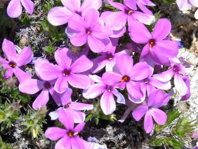 Creeping Purple Phlox