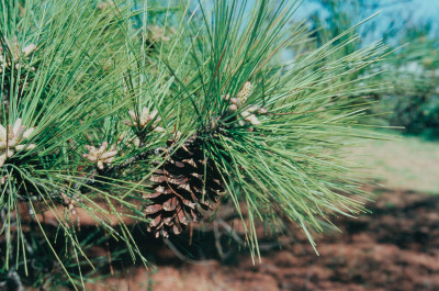 Loblolly Pine needles
