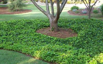 english ivy around a tree