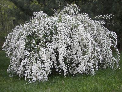 bridal wreath spirea in bloom