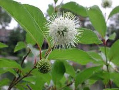 buttonbush blooms