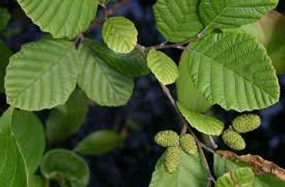 hazel alder leaves