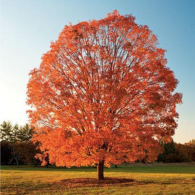 sugar maple tree in fall